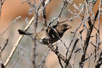Protea seedeater